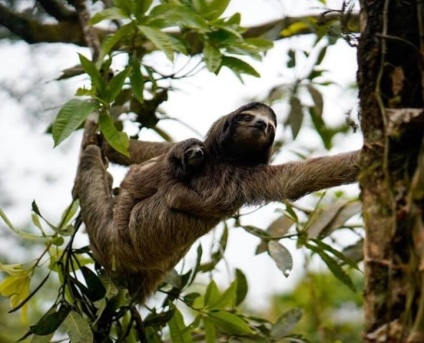 Sloth mama and sloth baby